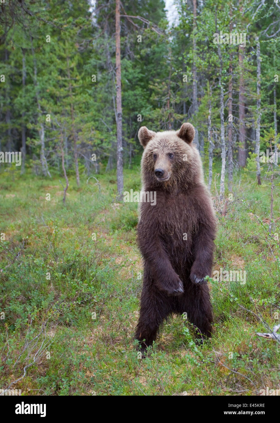 European brown bear (Ursos arctos) standing on rear legs, Kuhmo, Finland, July 2009 - Stock Image