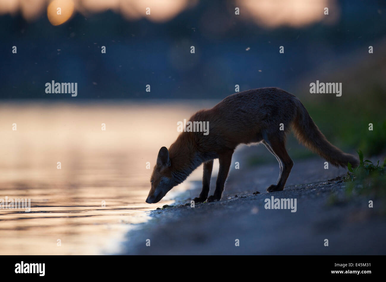 Urban Red fox (Vulpes vulpes) at waters edge, London, May 2009 - Stock Image