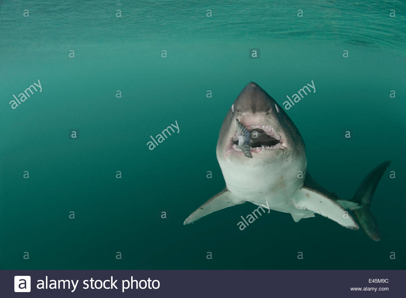 Salmon shark {Lamna ditropis} captive, with salmon in mouth (eyes are rolled back for protection), Prince William - Stock Image