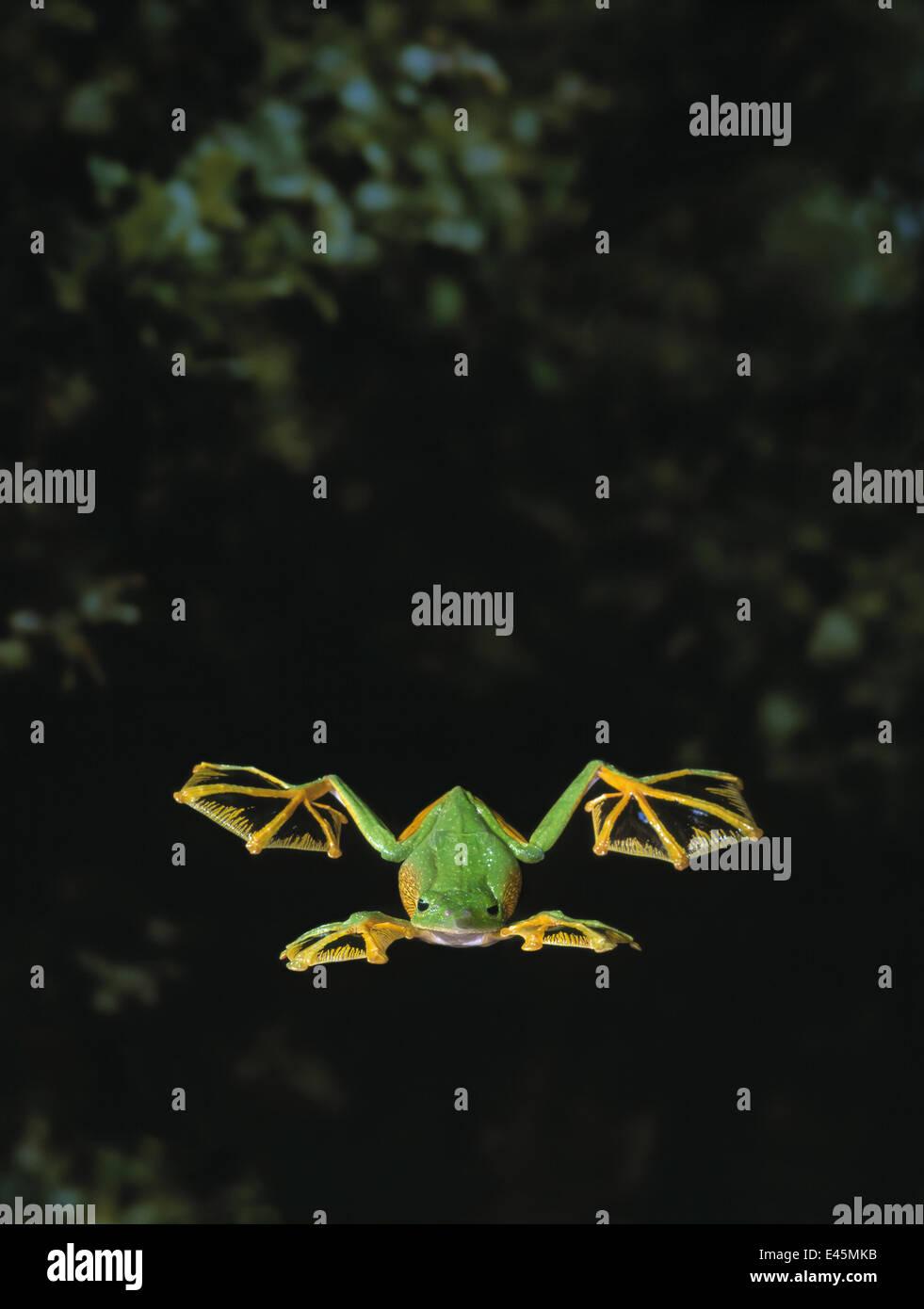 Wallace's / Abah river flying frog (Rhacophorus nigropalmatus) gliding, showing use of webbed feet - Stock Image