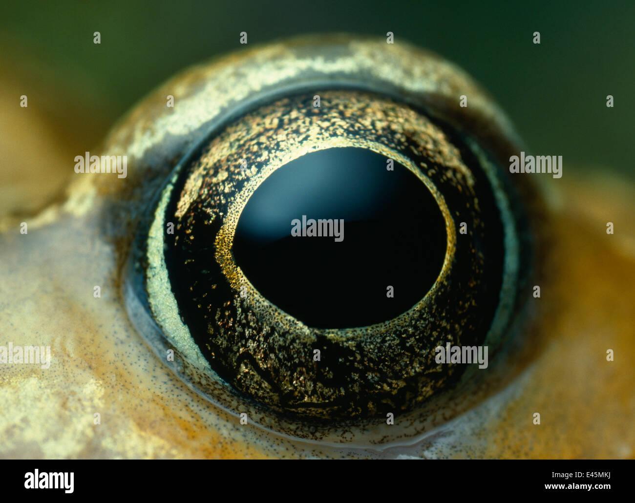 Common frog (Rana temporaria) close-up of eye - Stock Image