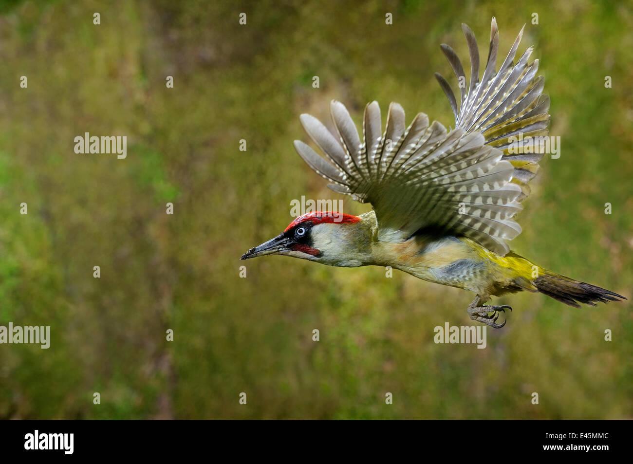 Green woodpecker {Picus viridis} male in flight, Lorraine, France - Stock Image
