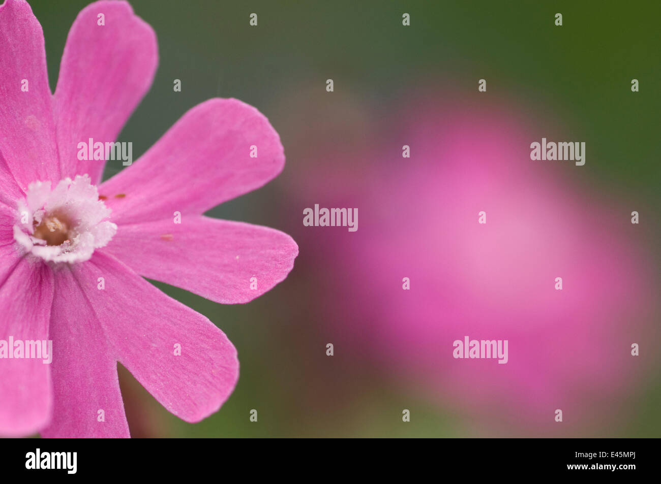 Red campion (Silene dioica) flower, Liechtenstein, June 2009 Stock Photo