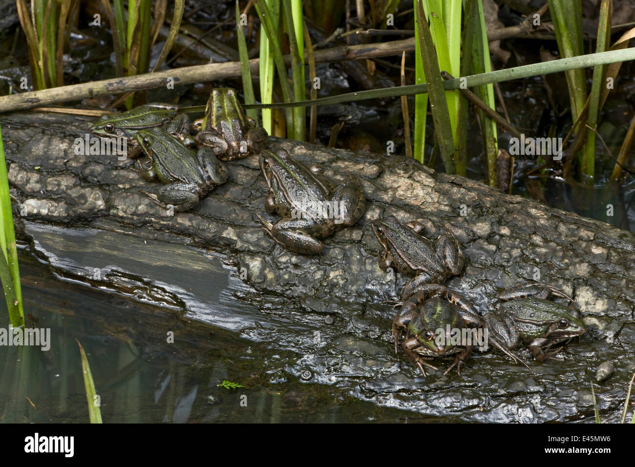 Common european frogs (Pelophylax kl. esculentus) the hybrid of the Pool frog (Pelophylax lessonae) and the Marsh - Stock Image