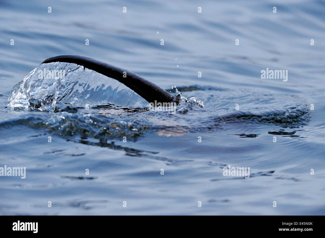 European river otter (Lutra lutra) hunting in sea, tail above water, Ardnamurchan, Scotland, January 2009 - Stock Image
