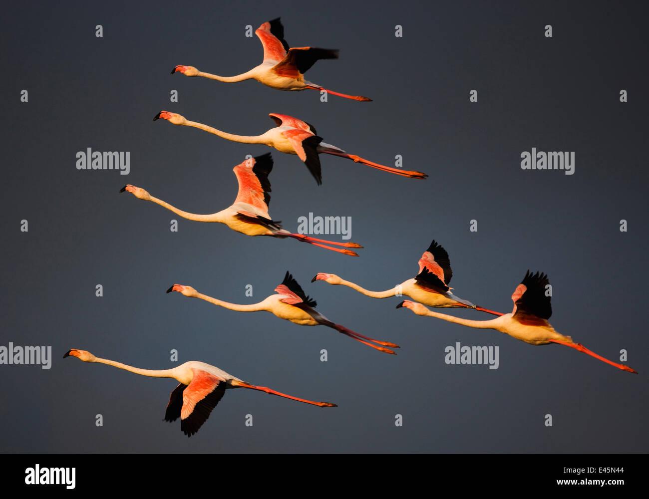 Greater flamingos (Phoenicopterus roseus) in flight, Camargue, France, April 2009. WWE INDOOR EXHIBITION - Stock Image