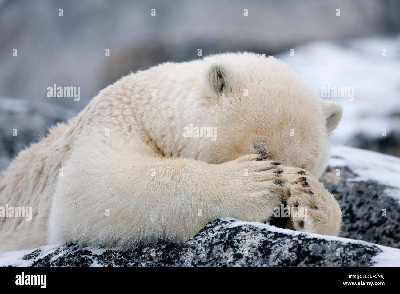 Polar bear (Ursus maritimus) with paws covering eyes, Svalbard, Norway, September 2009 - Stock Image