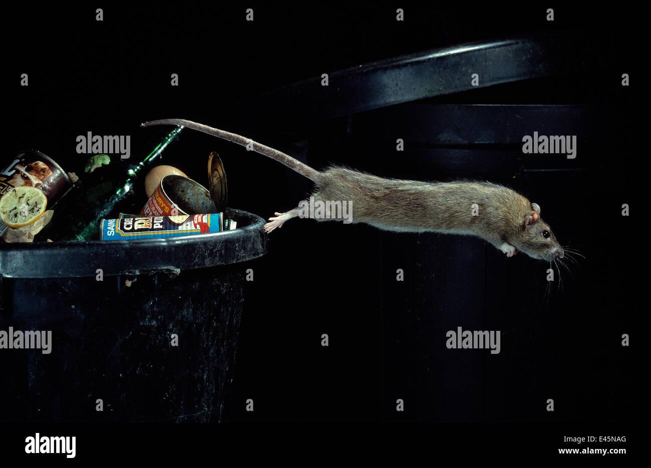 Brown rat {Rattus norvegicus} leaping from dustbin, UK - Stock Image