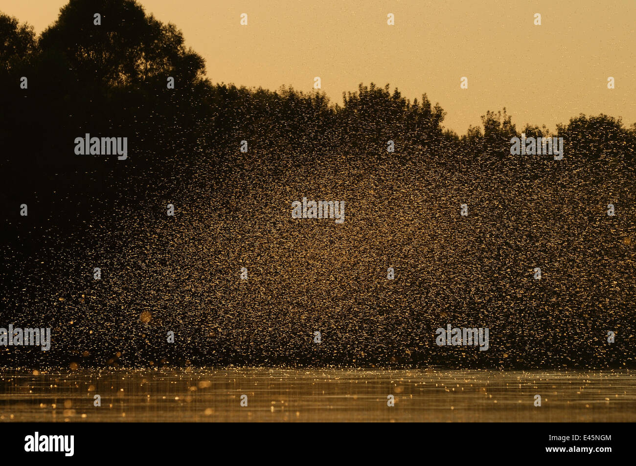 Female Long-tailed / Tisza mayfly (Palingani a longicauda) rise up in the air soon after mating, where they form - Stock Image