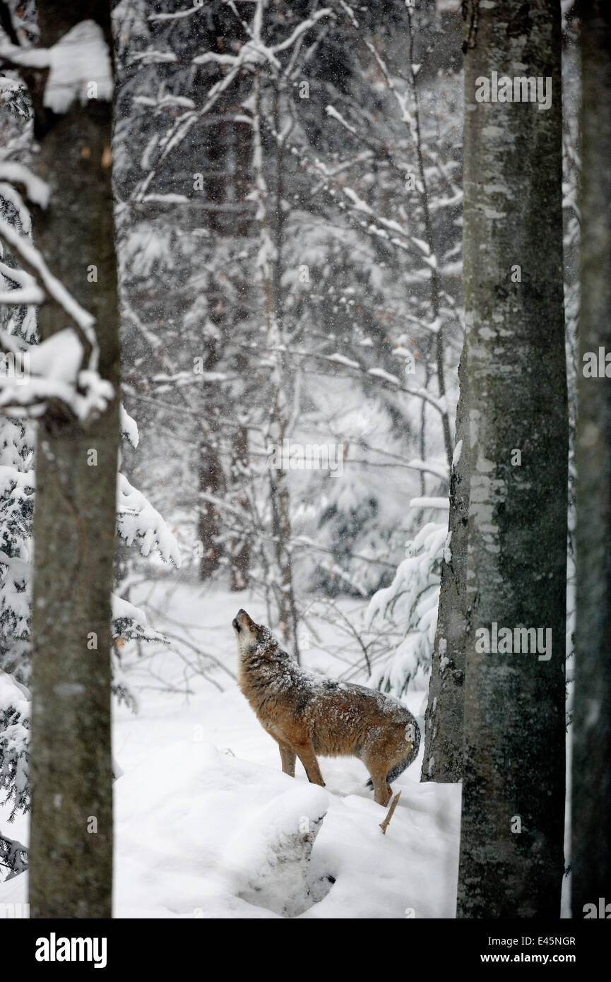 European grey wolf (Canis lupus) howling  in snow covered forest, captive. Bayerischerwald National Park, Germany. - Stock Image