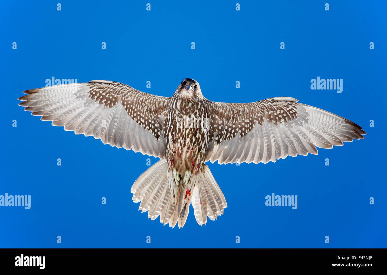 Gyrfalcon (Falco rusticolus) in flight, from directly below, Norway, July. Magic Moments book plate. Stock Photo