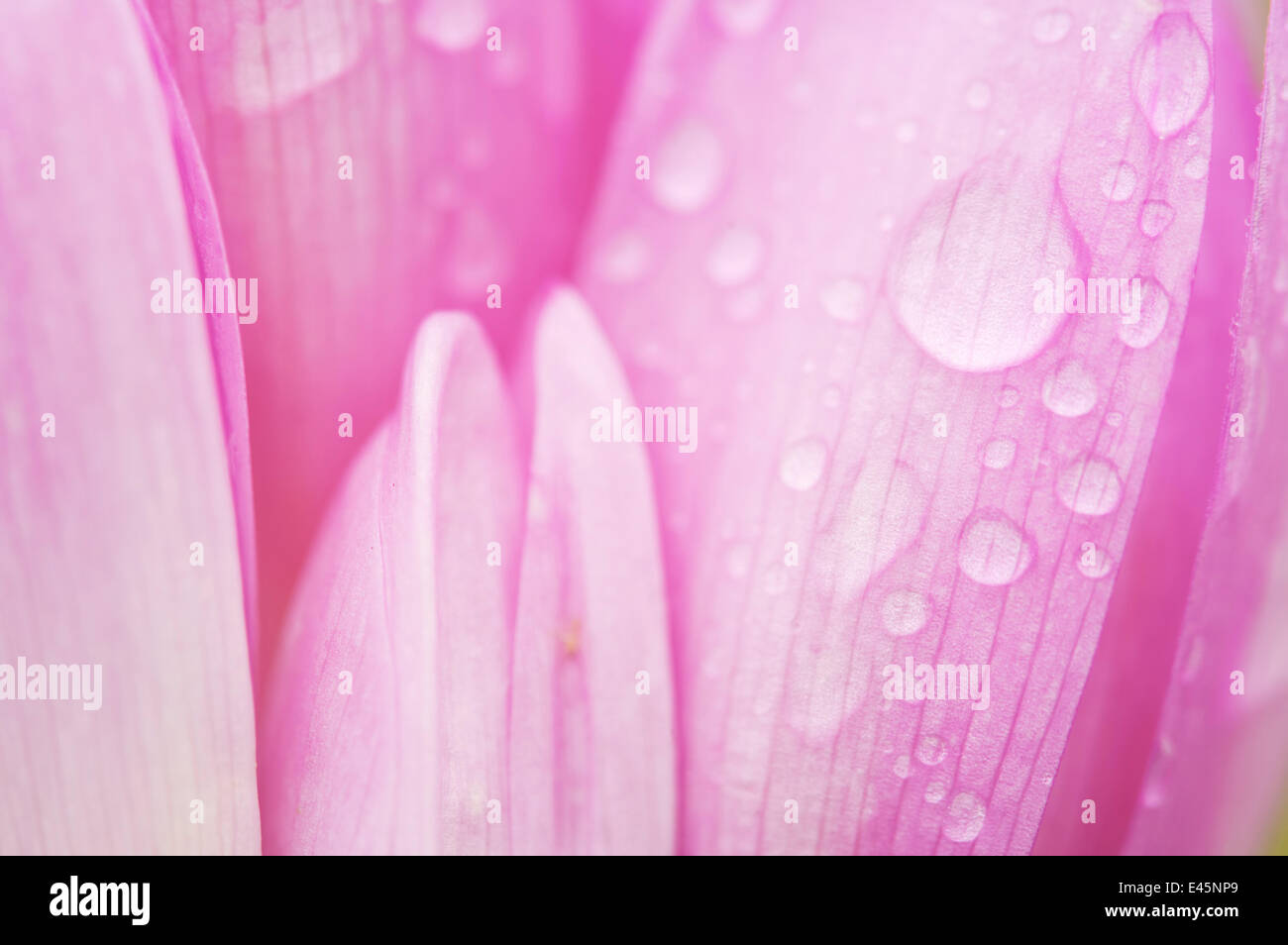 Close-up of Meadow saffron crocus (Colchicum autumnale) petals covered in water droplets, Duna Drava NP, Mohacs, - Stock Image