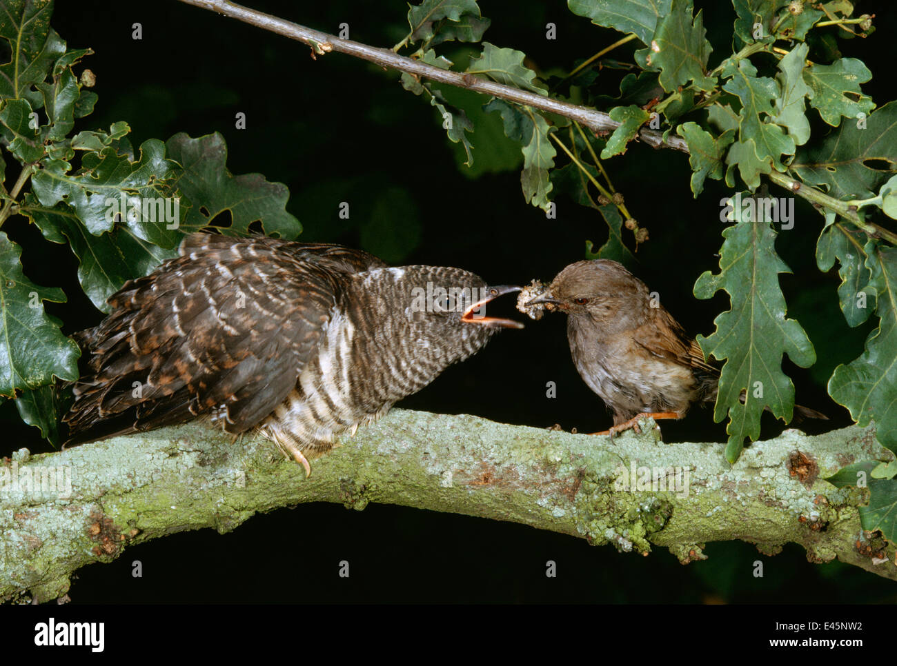 Hedgesparrow / Dunnock (Prunella modularis)feeding European cuckoo (Cuculus canorus) in oak tree, UK - Stock Image
