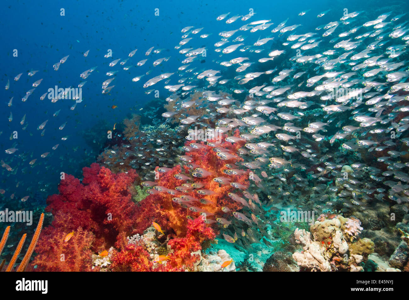 Coral reef scenery with Gorgonian and shoal of Pygmy / Glassy sweepers (Parapriacanthus guentheri) Egypt, Red Sea - Stock Image