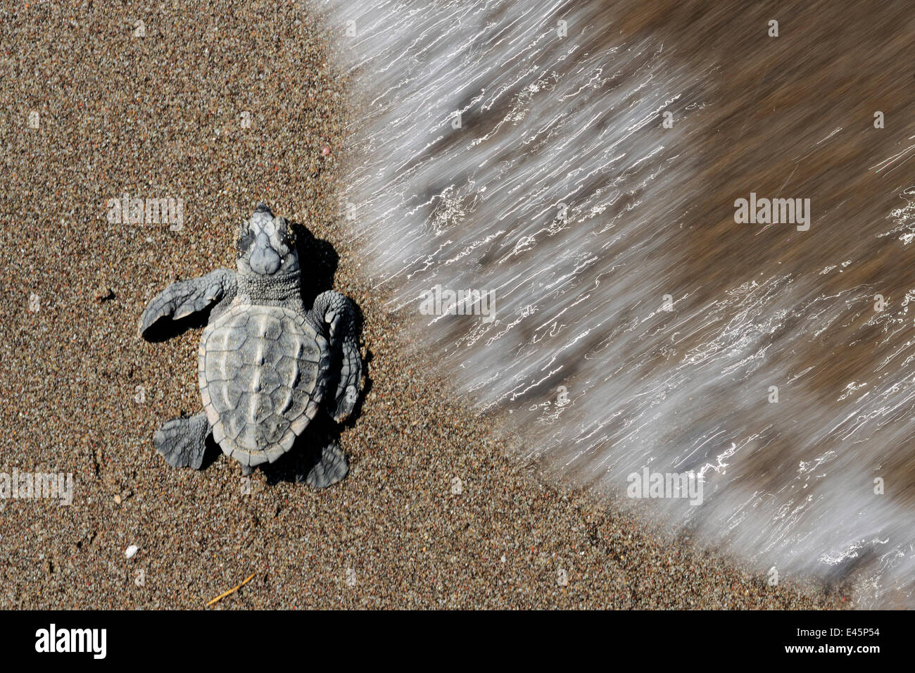 Newly hatched Loggerhead turtle (Caretta caretta) at sea edge, Dalyan Delta, Turkey, July 2009 WWE BOOK. WWE INDOOR - Stock Image