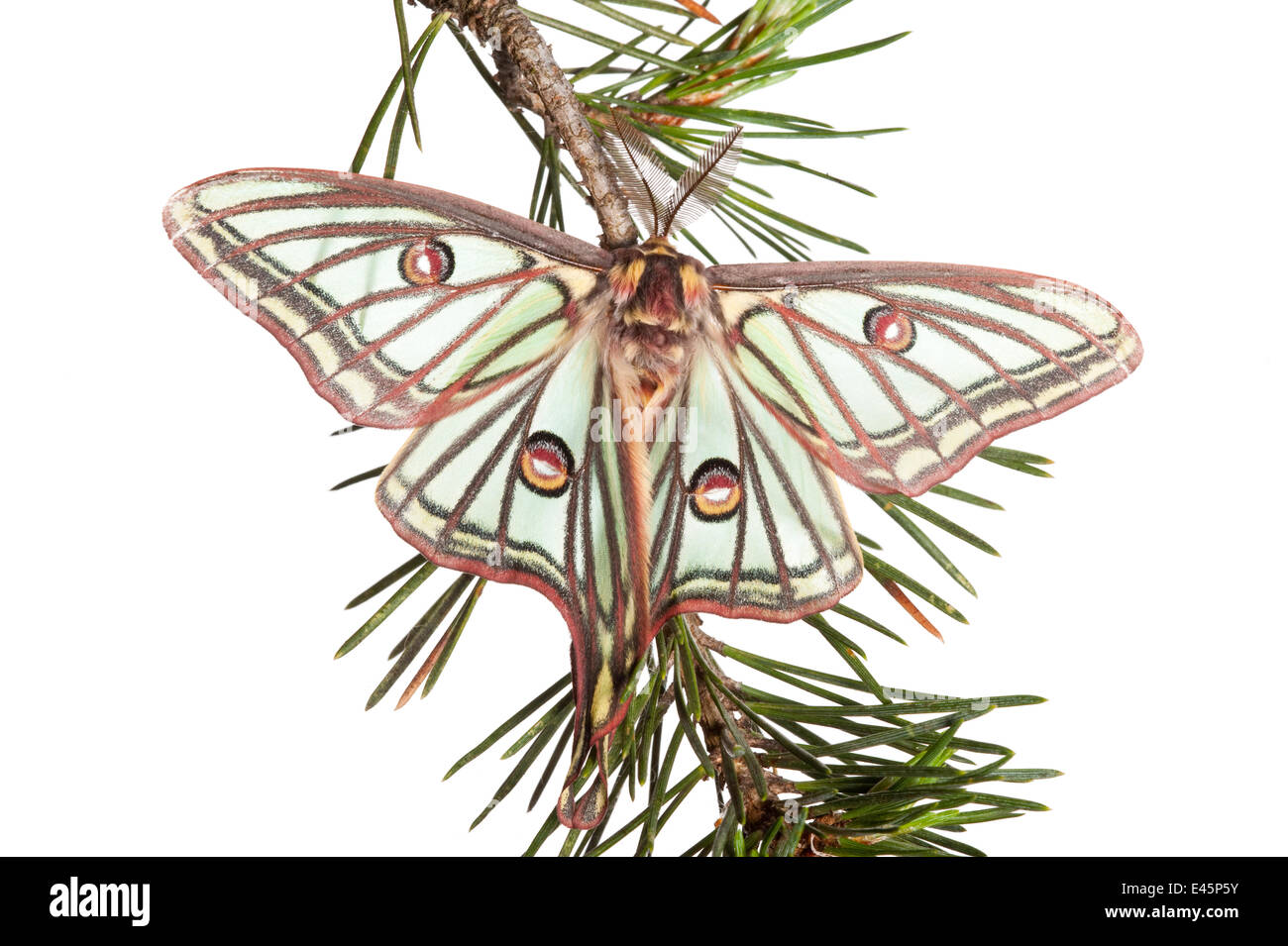 Male Spanish luna / Isabelline moth (Graellsia isabellina) on twig, Queyras Natural Park, France, May 2009 WWE OUTDOOR - Stock Image