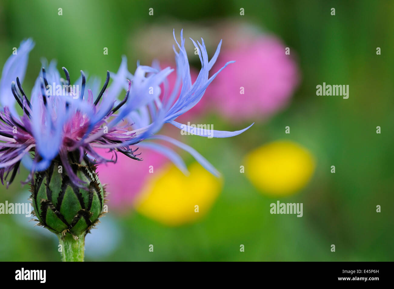 Mountain cornflower (Centaurea montana) flower, Liechtenstein, June 2009. BOOK &  WWE OUTDOOR EXHIBITION. NOT - Stock Image
