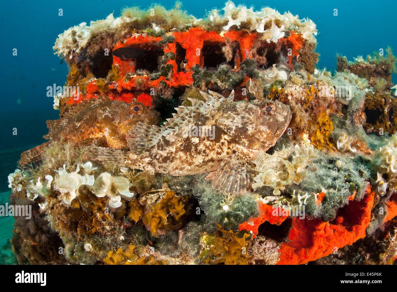 Two Scorpionfish (Scorpaena porcus) lying on artificial reef, Larvotto Marine Reserve, Monaco, Mediterranean Sea, - Stock Image