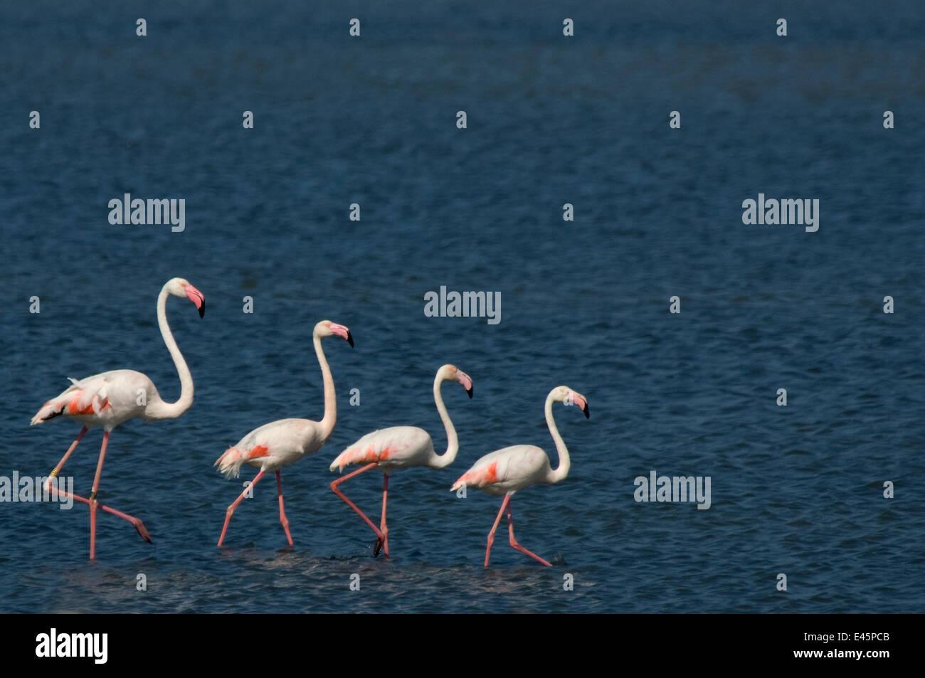 Small flock of Greater flamingo (Phoenicopterus roseus) wading on inland Kalloni lake, Lesbos, Greece - Stock Image