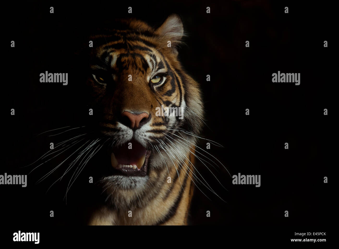 Head portrait of Sumatran tiger (Panthera tigris sumatrae) with face half cast in shadow, with aggressive expression, - Stock Image