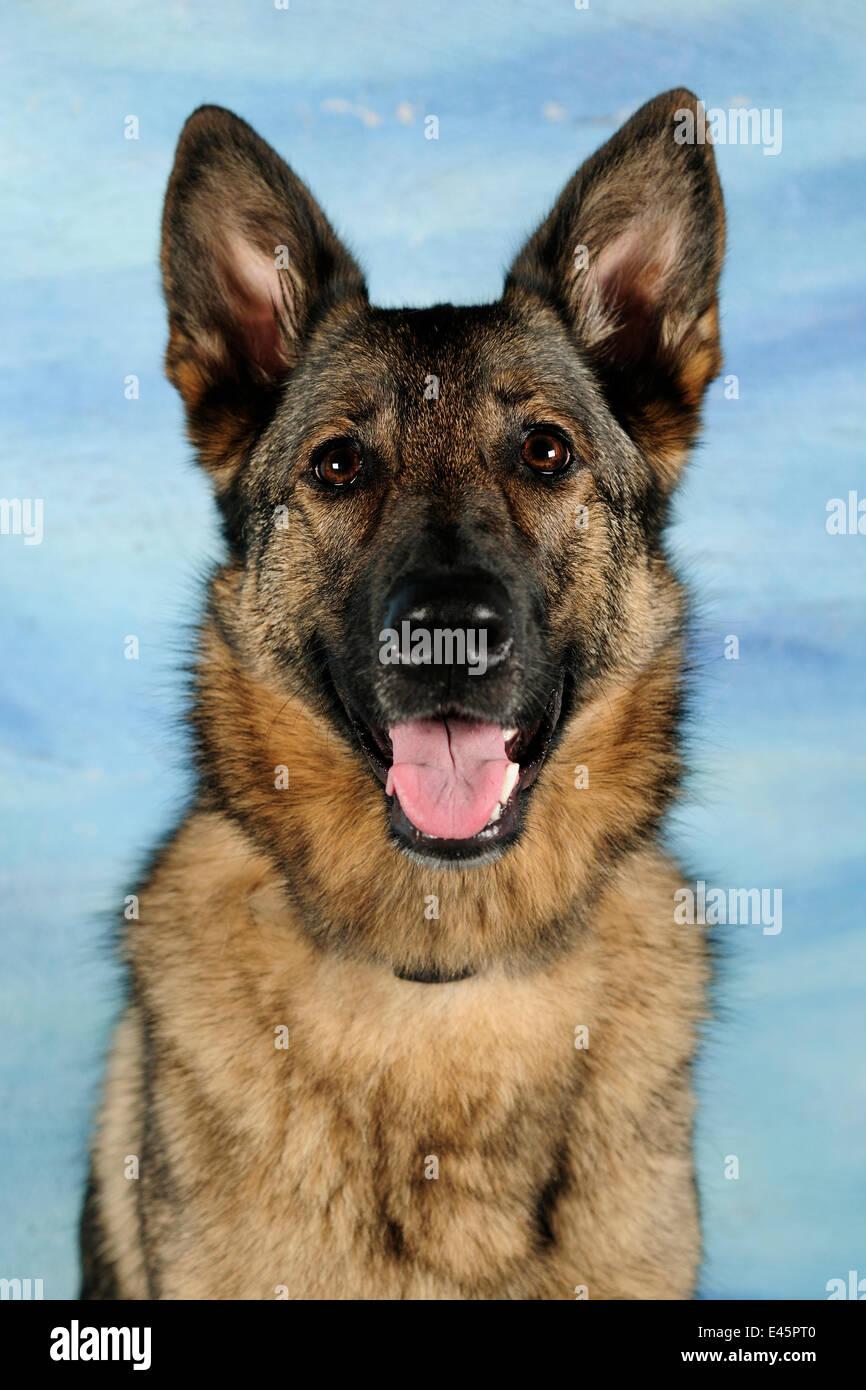 Head portrait of a German Shepherd, panting - Stock Image