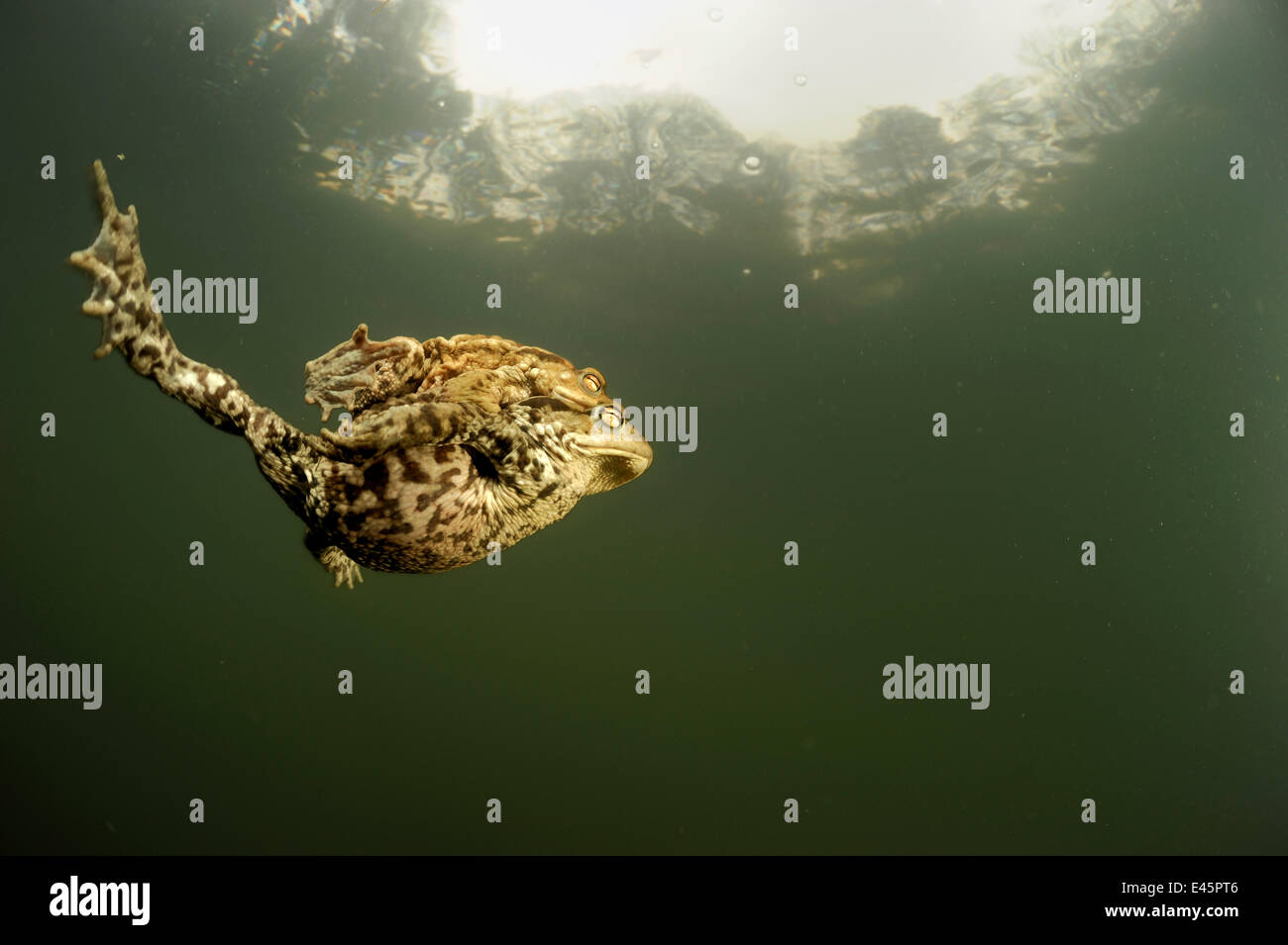 Pair of Common european toads (Bufo bufo) swimming together in pond, Germany - Stock Image