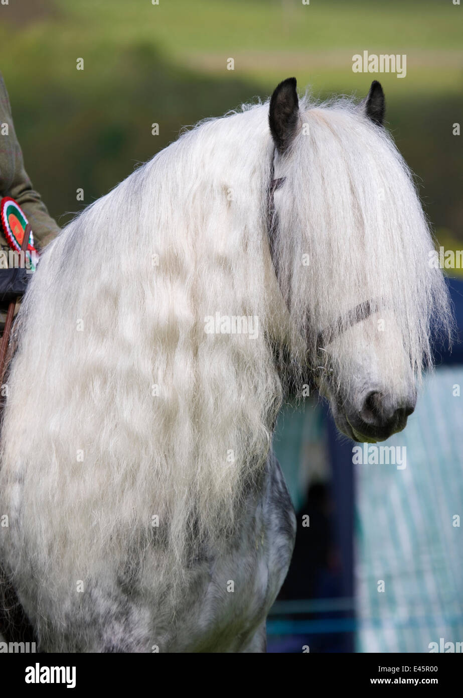 Head portrait of a rare grey Yorkshire Dales gelding (Equus caballus) with long mane, at Glanusk Estate, Wales, - Stock Image