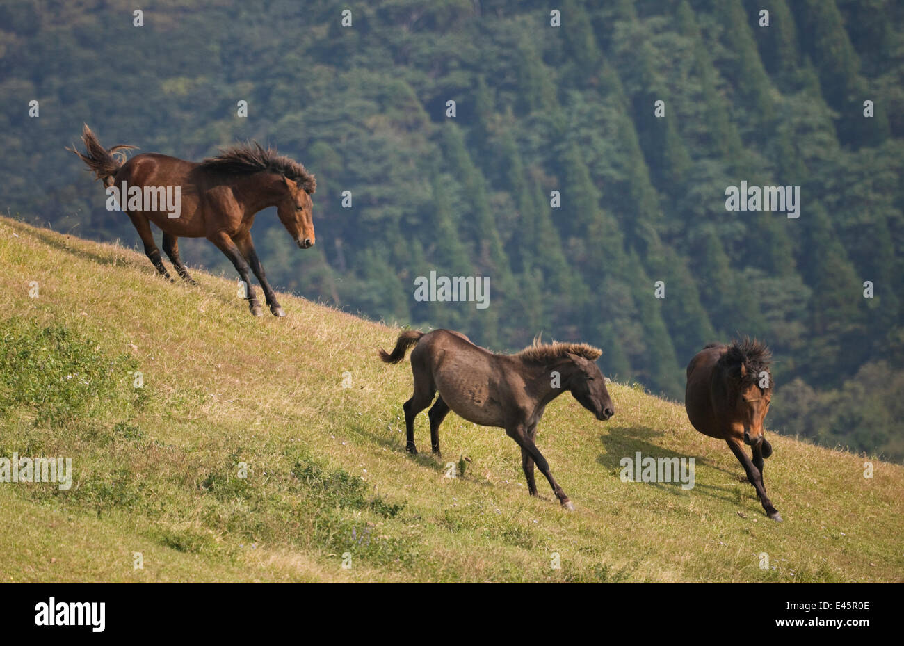 A wild Misaki-uma breeding stallion (right) brings back one of his mares to his band while another breeding stallion - Stock Image