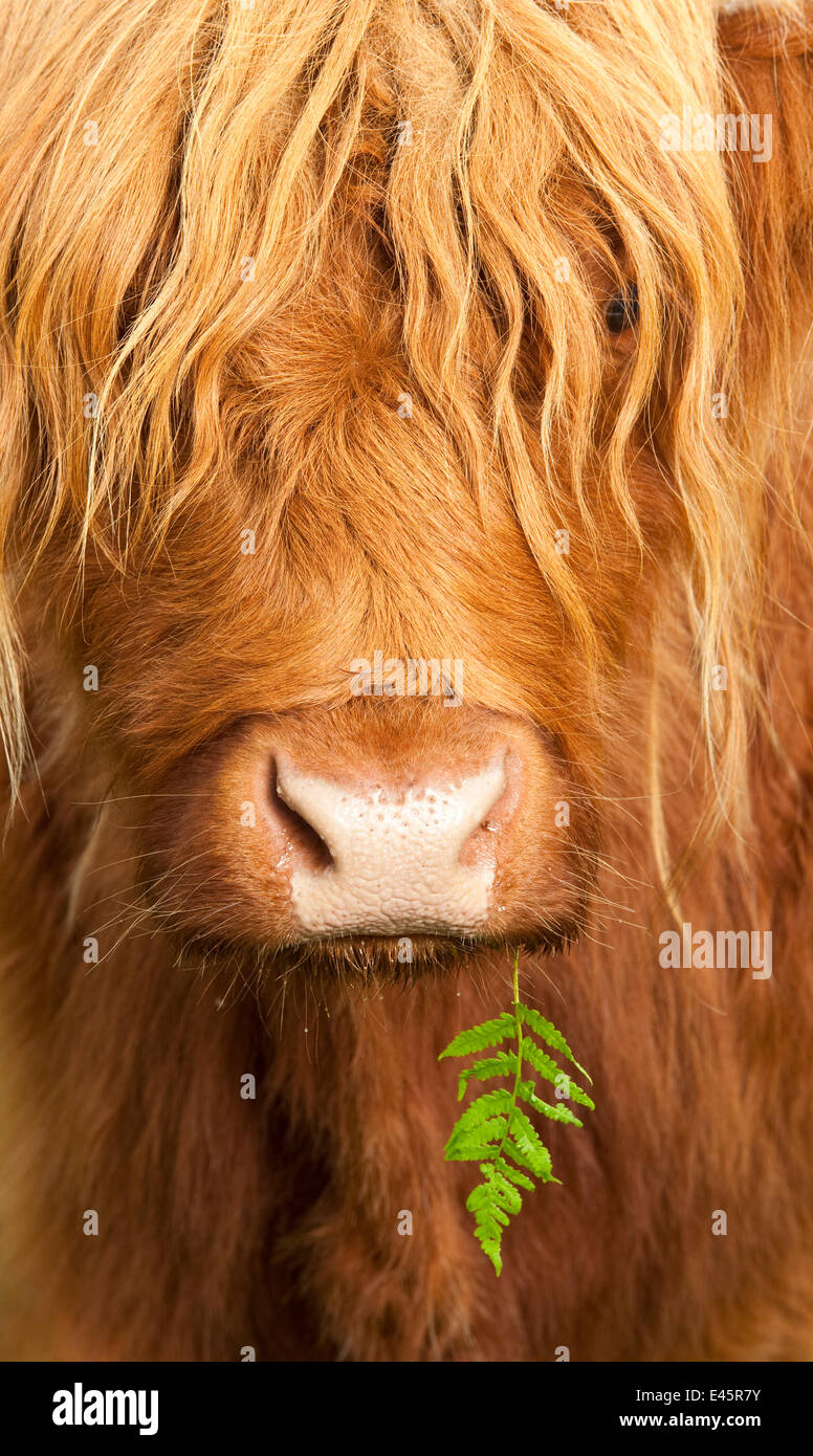 Head portrait of Highland cow, Scotland, with tiny frond of bracken at corner of mouth, UK - Stock Image