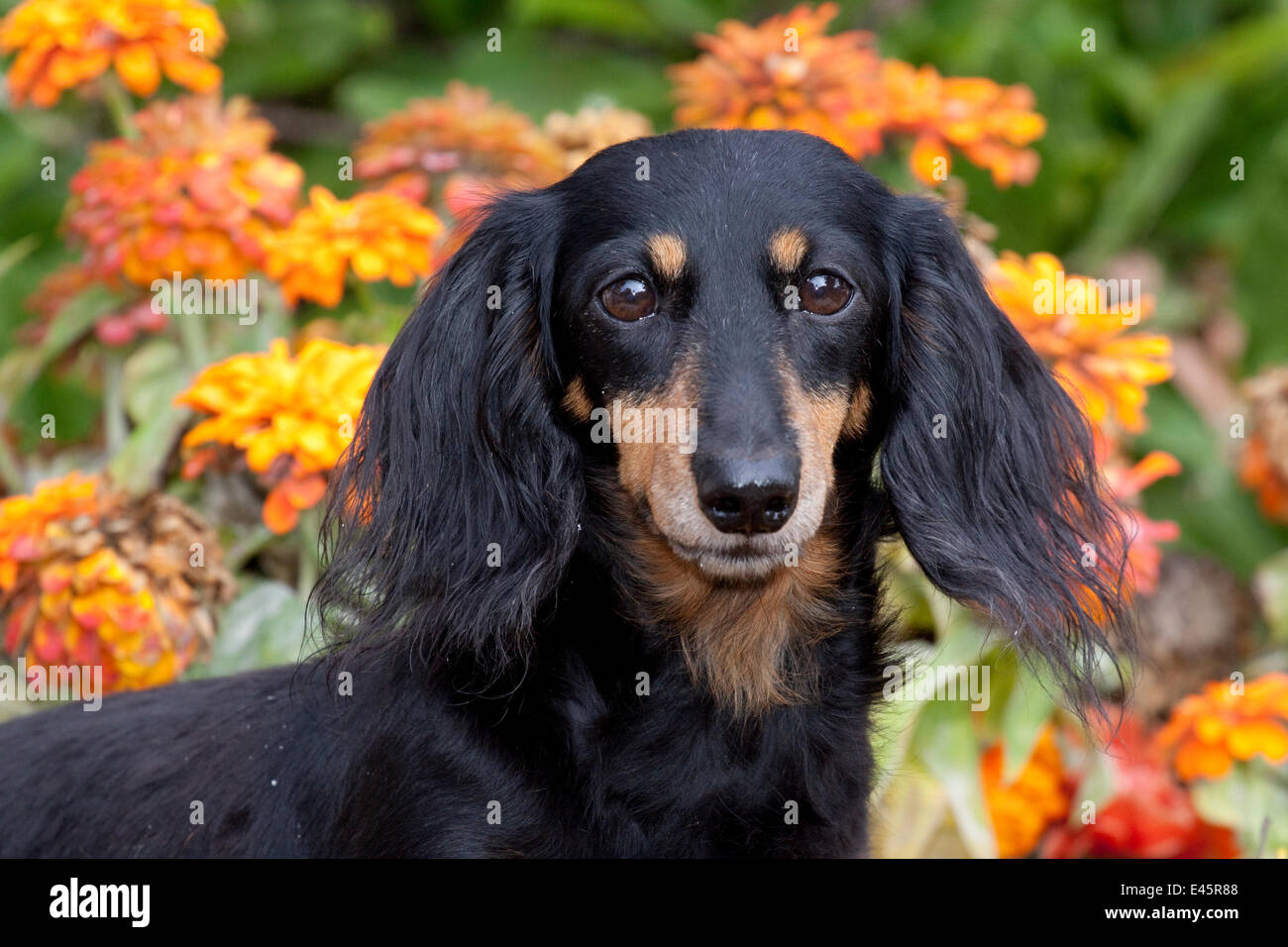 Head portrait of  black and tan smooth coated Dachshund with zinnias,  Illinois, USA - Stock Image