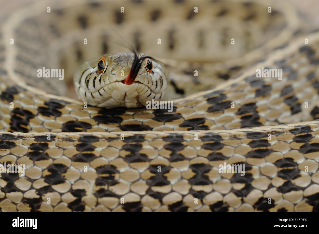 Checkered Garter Snake (Thamnophis marcianus marcianus) coiled with tongue protruding. Fennessey Ranch, Refugio, - Stock Image