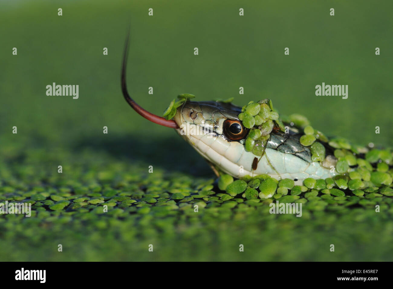 Head portrait of Gulf Coast Ribbon snake (Thamnophis proximus orarius) covered in duckweed and swimming, with tongue - Stock Image