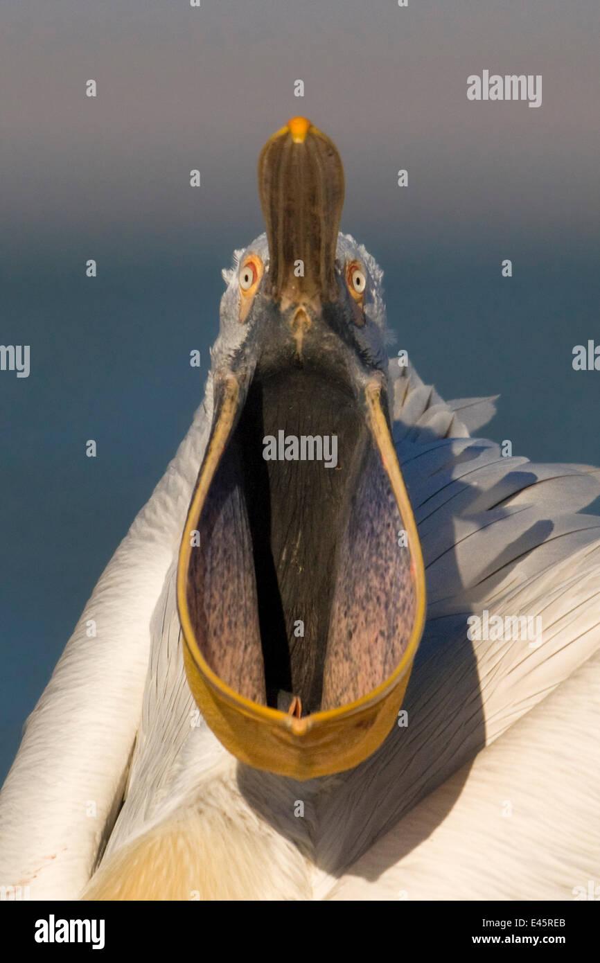 Head portrait of Dalmatian pelican (Pelecanus crispus) with pouched bill wide open. Danube Delta, Romania - Stock Image