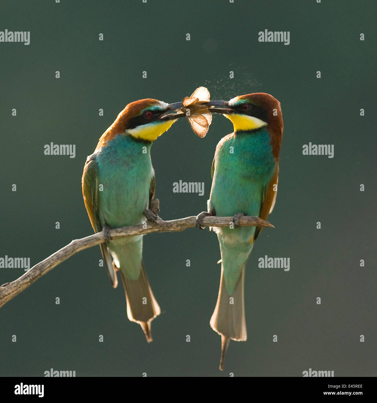 Pair of European bee-eaters (Merops apiaster) with courtship offering of insect prey,  Pusztaszer, Kiskunsagi National Stock Photo