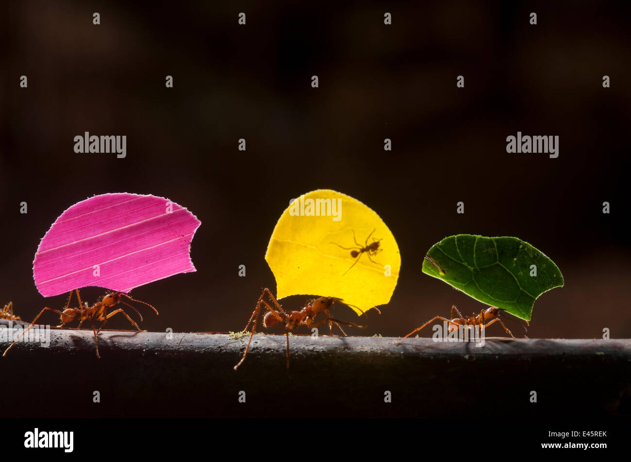 Leaf cutter ants (Atta cephalotes) carrying sections of leaves, to be used for cultivating nutritious fungi, Santa Rita, Costa Rica Stock Photo