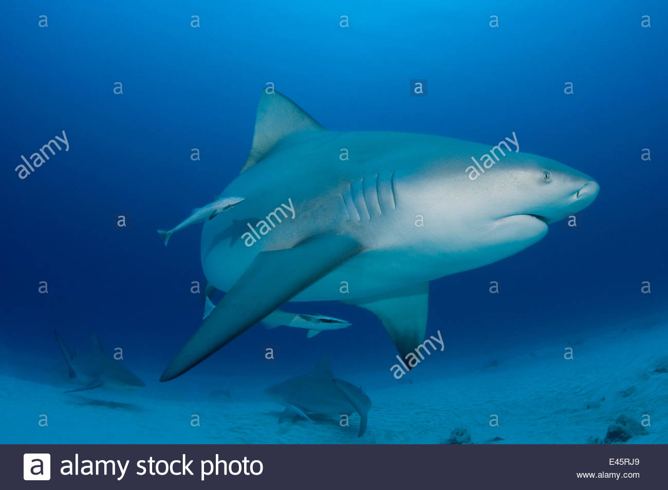 Female Bull sharks (Carcharhinus leucas) in seasonal breeding aggregation with Sharksuckers (Echeneis naucrates) - Stock Image