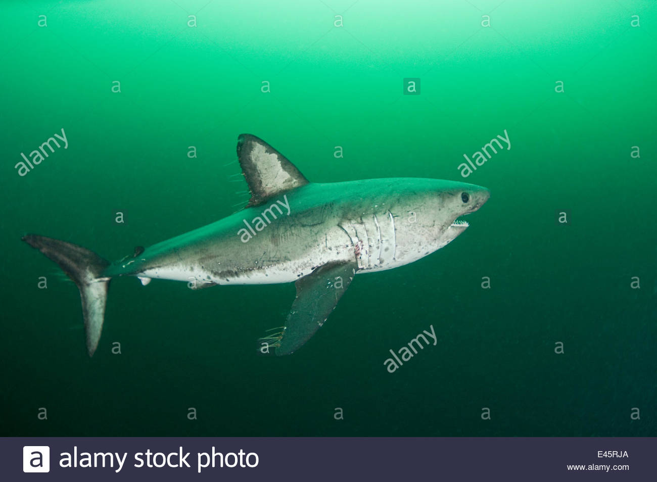 Salmon shark (Lamna ditropis) female with mating scar on side and copepod parasites streaming from fins, Port Fidalgo, - Stock Image