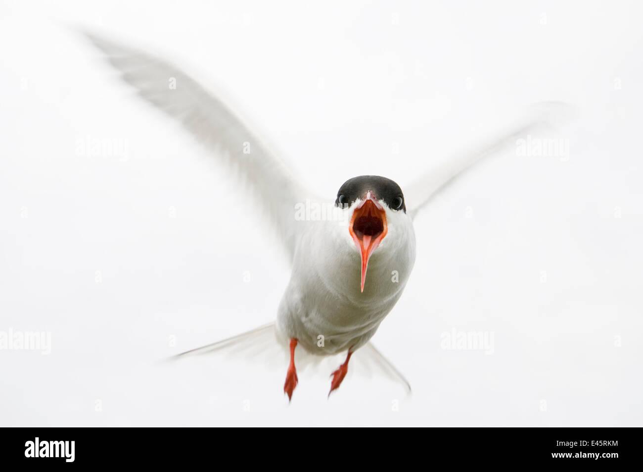 Arctic tern (Sterna paradisaea) in flight, calling, Farne Islands, Northumberland, UK, June - Stock Image