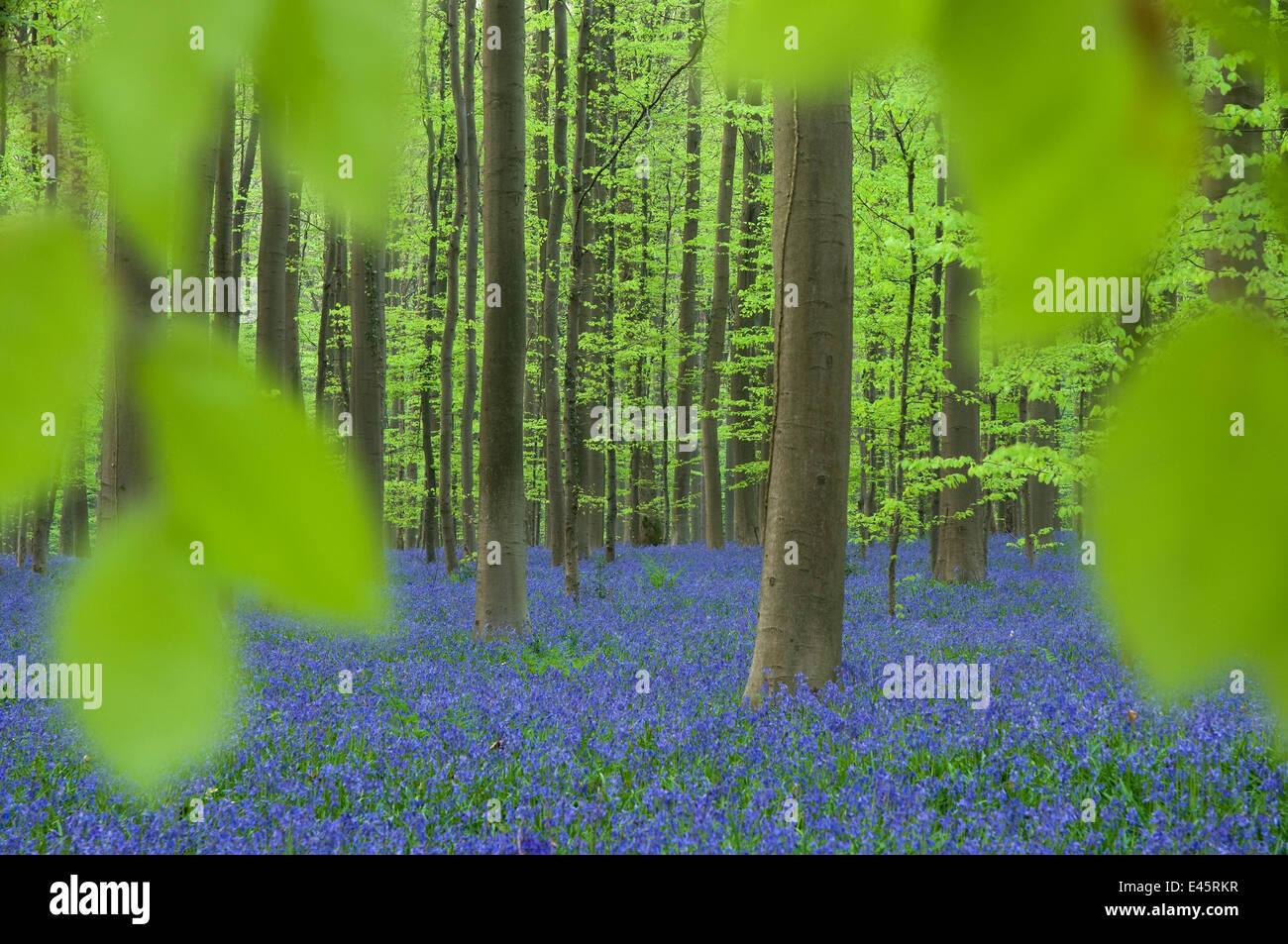 Bluebells (Hyacinthoides non-scripta / Endymion scriptum) flowering in Beech wood, Hallerbos, Belgium, April - Stock Image