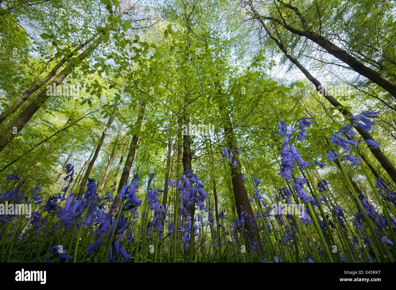 Bluebells (Hyacinthoides non-scripta / Endymion scriptum) flowering in beech wood, Hallerbos, Belgium, April, low - Stock Image