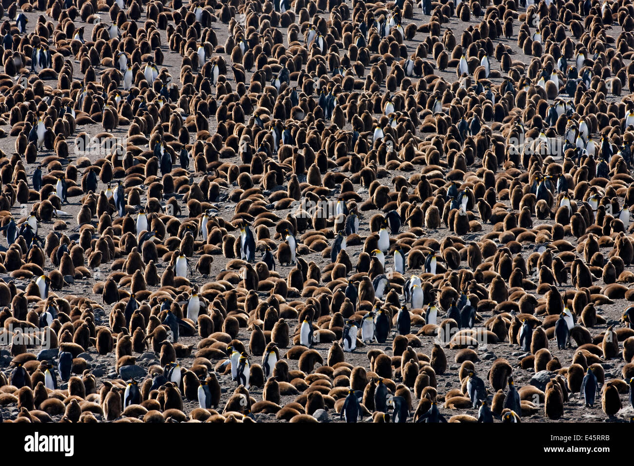 King penguin (Aptenodytes patagonicus) colony with adults and chicks. St Andrews Bay, South Georgia Island - Stock Image