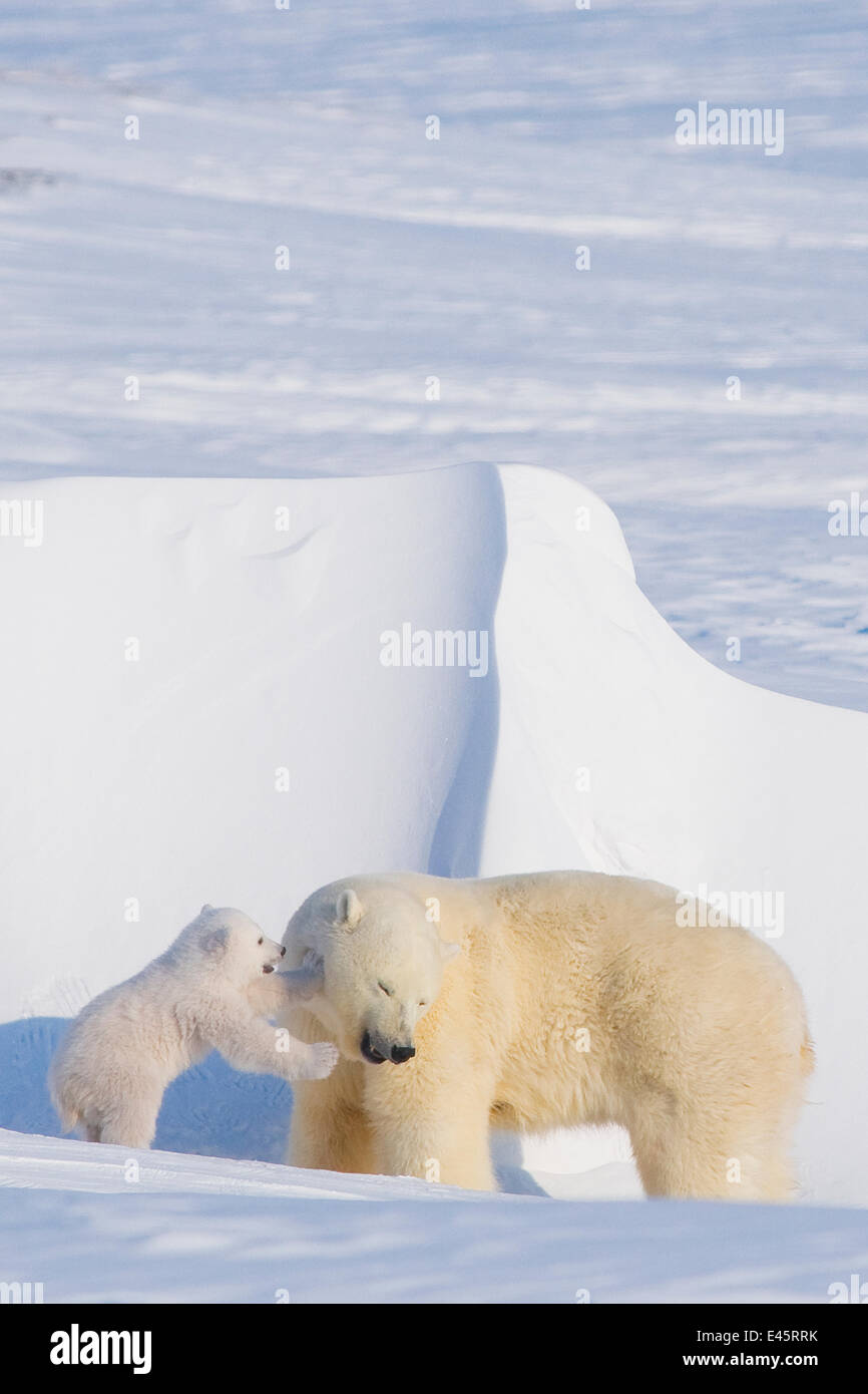 Polar bear (Ursus maritimus) sow plays with her spring cub outside their den in late winter, Alaska - Stock Image