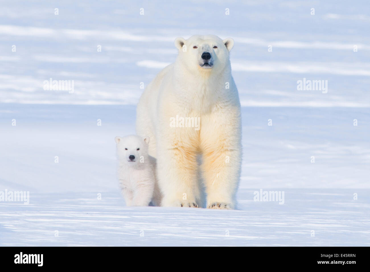 Polar bear (Ursus maritimus) sow with her  cub outside their den in late winter, Arctic coast of Alaska - Stock Image