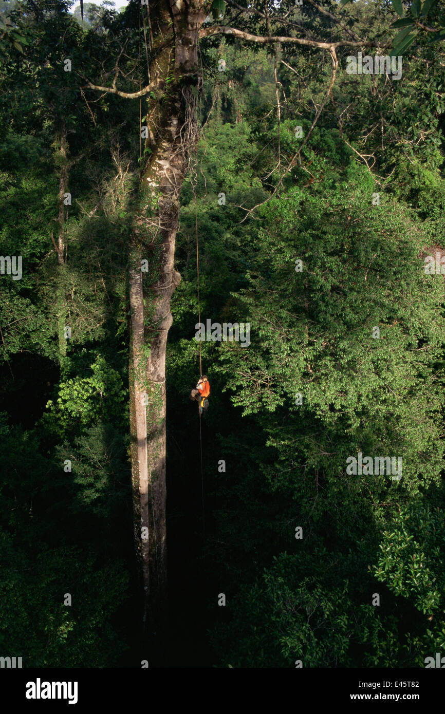 Orangutan researcher, Cheryl Knott, climbing rope into giant canopy tree with stranger fig tree roots growing down - Stock Image