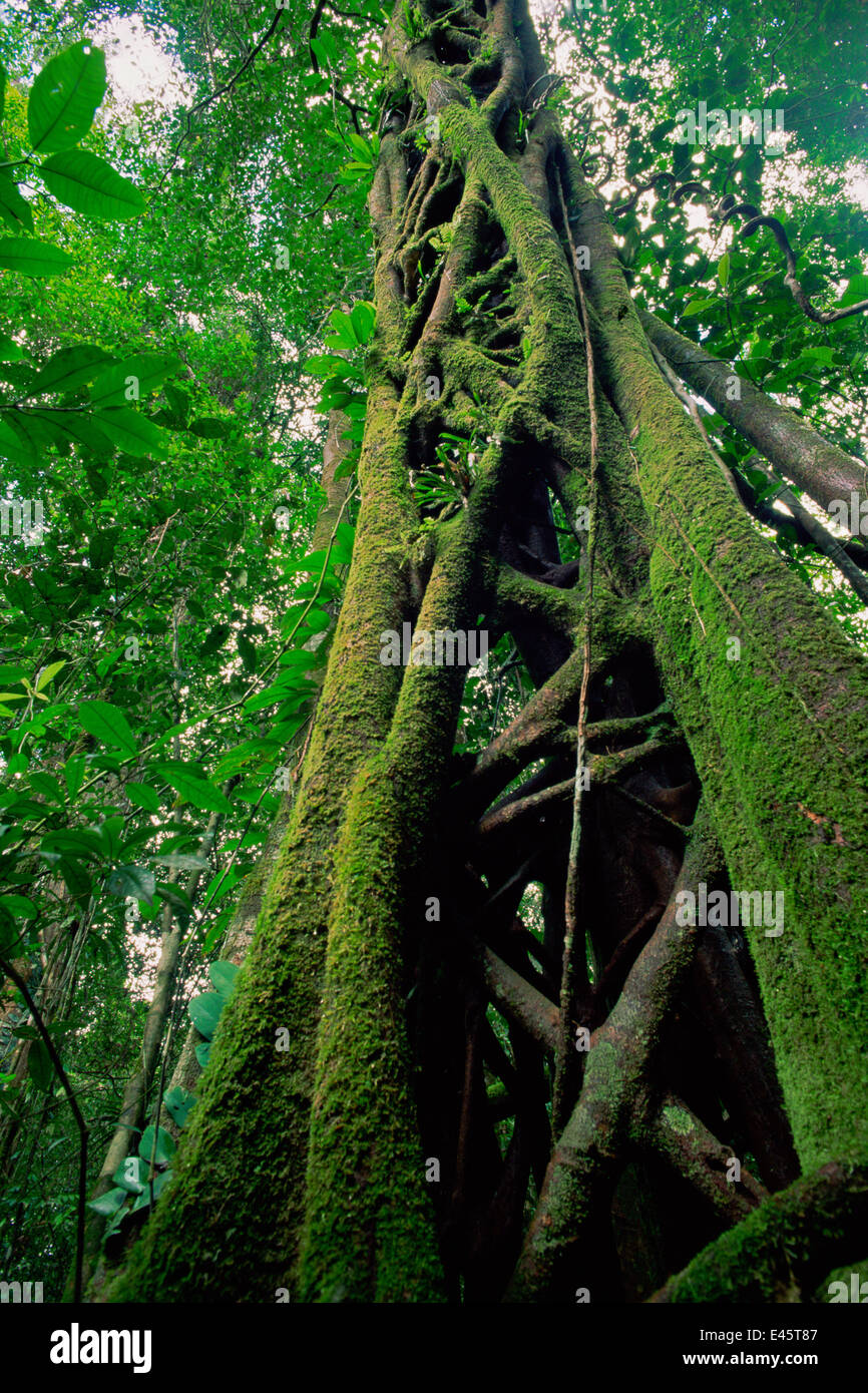 Strangler Fig (Ficus sp.) that has killed its host tree long ago. The host has rotted away, leaving a hollow center. - Stock Image