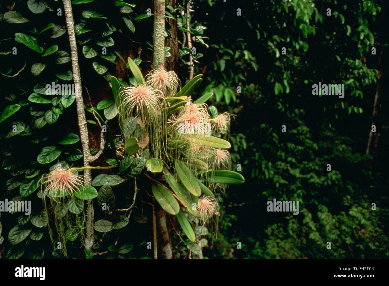 Epiphytic orchid (Bulbophyllum medusae) growing in the canopy of the lowland rainforest, Gunung Palung National - Stock Image