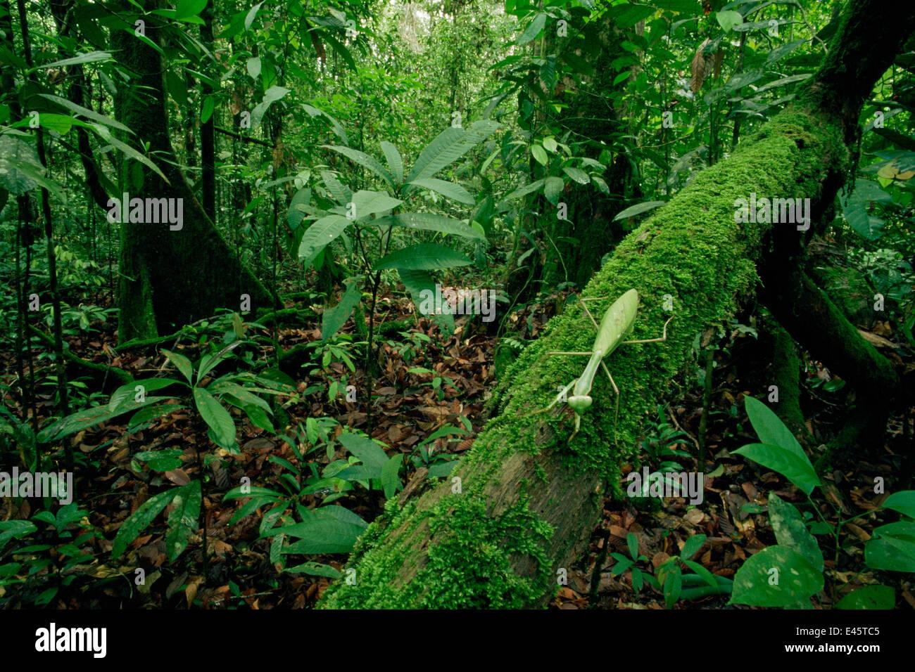 Praying mantis (Mantodea) green leaf mimic type walking along a mossy branch in lowland rainforest, Gunung Palung - Stock Image