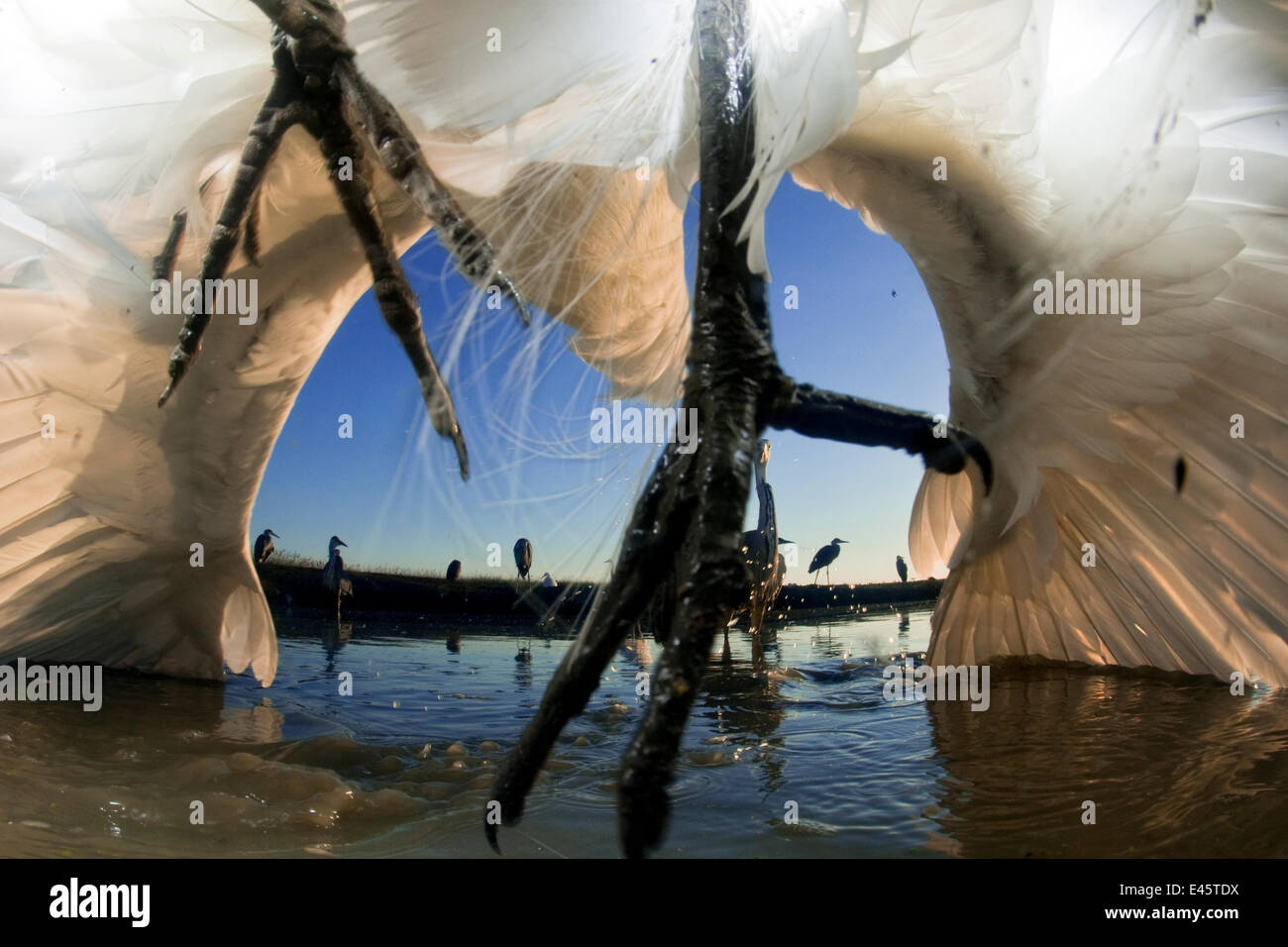Low angle view of grey heron feet (Ardea cinerea), leaping to attack gret white egret (Egretta alba), egret wings - Stock Image