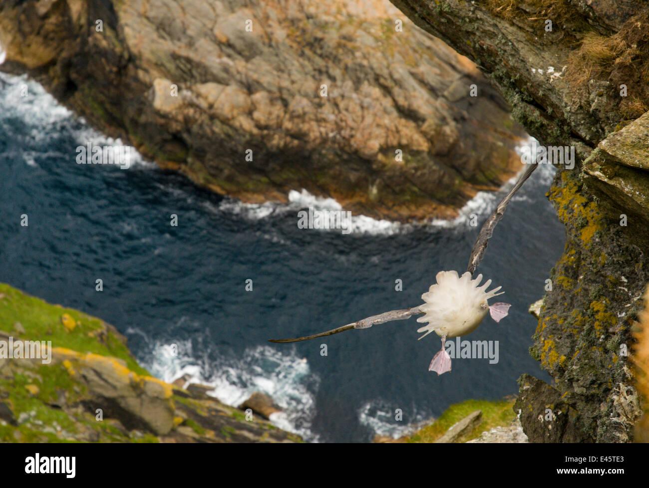 Fulmar (Fulmarus glacialis) rear view of bird hanging in air over steep cliffs, Shetland Islands, Scotland, UK. - Stock Image