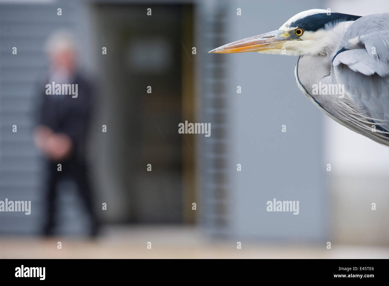 Grey heron (Ardea cinerea) portrait in urban park, Paris. France, November. - Stock Image